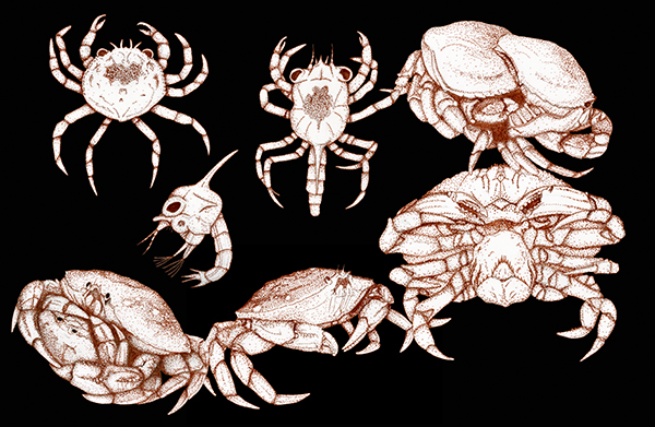 Dungeness Crab Life Cycle Illustrations