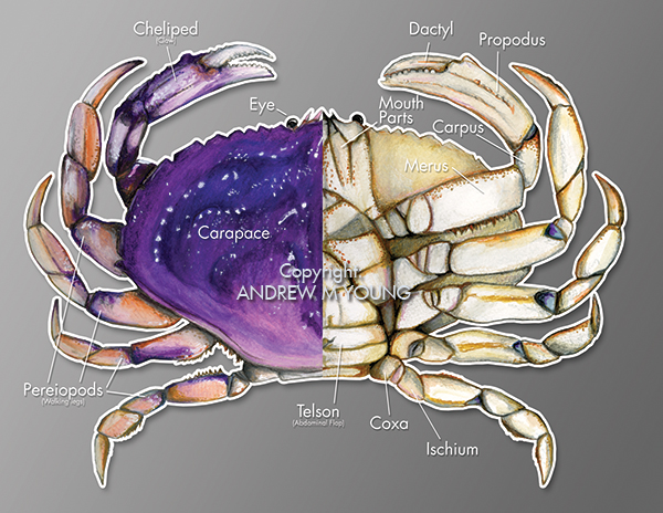 Dungeness Crab Diagram